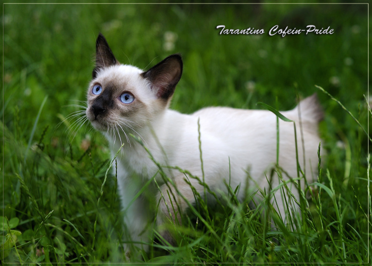 mekong bobtail kittens of different 