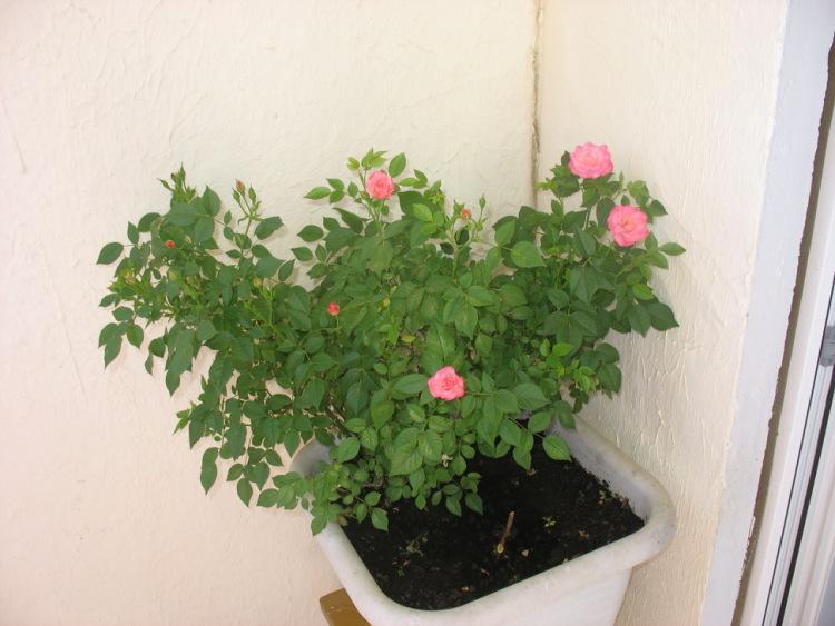 Выращивание розы на балконе 58